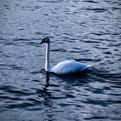 Swan's Lullaby